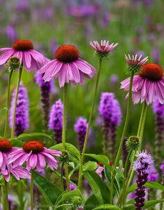 Echinachea and liatris - plant combo for full sun