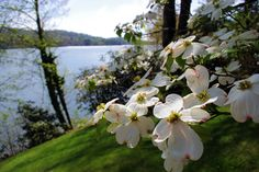 Dogwood in bloom along Lake Toxaway near Brevard and Cashiers, North Carolina.
