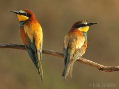 BEE EATERS by Lee Fisher, via 500px