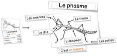 Sciences : les phasmes
