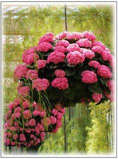Hanging baskets of pink hydrangeas