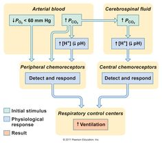 respiratory flow charts & cause/effects