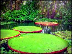 Giant lily pads on the Amazon river in Peru