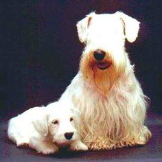 Sealyham Terrier Puppy Dog