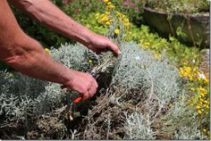 Summer Pruning Explained Confused over when to prune? Scared of getting it wrong? In this article horticultural Guru Andy McIndoe tells us what, how and when to summer prune your #perennials and #shrubs. #pruning. Cutting back santolina