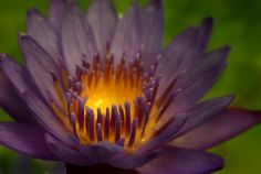 Tropical Waterlily Flower Photograph