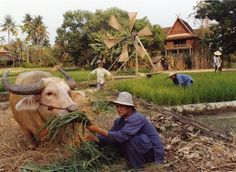 On the Mandarin Oriental Dhara Dhevi's 60 acres, staff tend the water buffalo and the rice paddies.