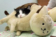 Cat in a cat pillow...