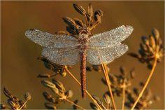 dragon fli, des photo, qui nous, dragonfli cover, photo qui, splendid insect, bug, nous animent, silver dragonfli