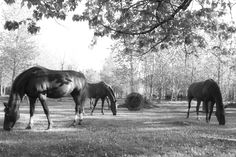 Horses enjoying the green spring grass
