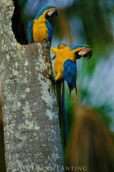 Blue-and-yellow macaws (ara ararauna) on palm tree, Tambopata National Reserve, Peru
