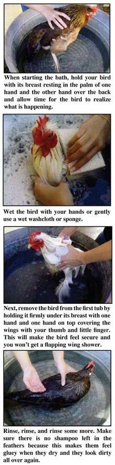 Bathing Chickens