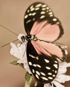 Pretty pink butterfly.