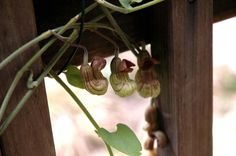 Aristolochia, also known as birthworts, pipevines and Dutchman's pipes, make an appearance. Photo by Elaine Park