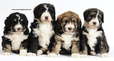 Litter of bernedoodles. Carrie is the mother. She is one of our bernese imported from Europe! Look at these amazing pups! You will not find pups better looking then these pups! They are breathtaking!!! poodl, anim, bernedoodl, bernese mountain dogs, cutest dogs, pet, designer hypoallergenic dogs, ador, puppi