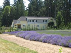 The Lavender Festival in Sequim, Washington.  A farm in Sequim.