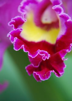Cattleya hybrid - See it at The Orchid Show www.chicagobotani...