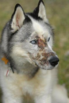 Logan's law gets new support - Animal abuse registry proposed - Matt Falk hasn't given up hope the death of his beloved husky, Logan, will be remembered. He is working to make the dog's memory something that will help raise awareness of animal abusers and track those convicted of the crime.