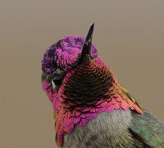 Allen's Hummingbird - male