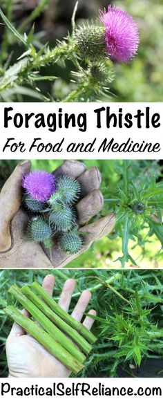 Foraging Thistle for