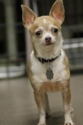 Anna is an adoptable Chihuahua Dog in Maryland Line, MD. Hi, I'm Anna and I'm a shy girl from a puppy mill. I'm about 4- to 5-years-old. I had puppies a few weeks before I left the mill and well, I've been through a lot.