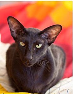 Usyaka | Black Oriental Shorthair