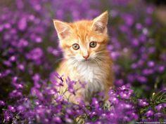 Orange tabby girlie kittens!!!