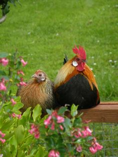 Date night! chicken, bird, farm life, date nights, the farm, rooster, countri, hen, country couples