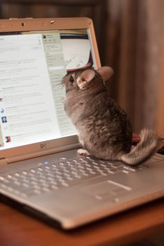 LIKE if you & your pet are ready to get to work! Chinchilla care tips at at URL: http://chinchilla.co/ Fb fan page: https://www.facebook.com/LoveChinchilla