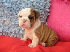 bulldog.. awww little puppy