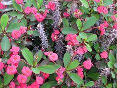 Maale Adumim, Israel - Gardens, 06 neighborhood (צמח השדה), crown of thorns