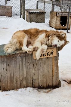 Sled dogs. Hate to see them chained like this.