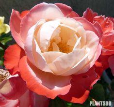 roses on pinterest 137 pins. Black Bedroom Furniture Sets. Home Design Ideas