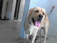 CLYDE - ID #A472915 (MUST EXIT ON 9/24) JellyBelly I am a male, yellow Labrador Retriever. Shelter staff think I am about 1 year old. I have been at the shelter since Sep 17, 2014. If I am not claimed, after my stray holding period, I may be available for adoption on Sep 24, 2014. For more information about this animal, call: San Bernardino City Animal Control at (909) 384-1304 Ask for information about animal ID number A472915