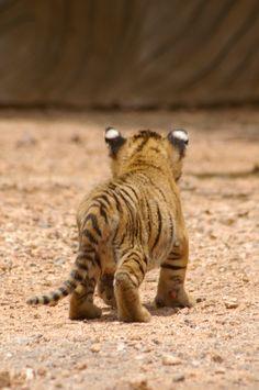 Baby tiger.