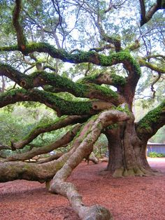 beautiful big tree, Angel Oak, by rasears