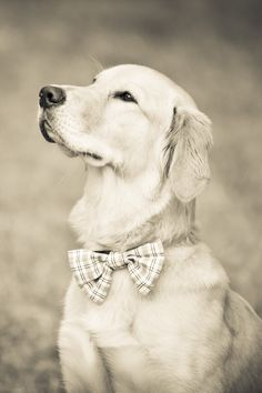 Golden with a bow tie