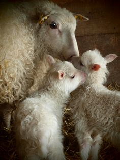 twin, baby lamb, mother, new life, french country style, sheep, the farm, baby animals, animal babies