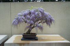 Lavender Wisteria bonsai (omg  I wish I had never seen this.)