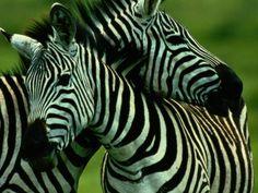 Zebra Zebra Zebra