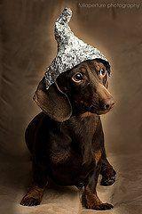 Little dachshund Hershey's Kiss :-)