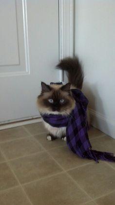Hipster Munchkin cat
