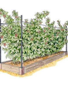 Raised Bed System for Growing Raspberries