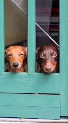 Dachshund watchdogs