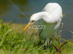 image of a white bird. - Close-up shot of a Great Egret bird on grass.