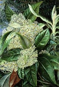Flower painting by Victorian botanical artist, Marianne North