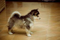 Pomeranian + Husky = Pomsky!