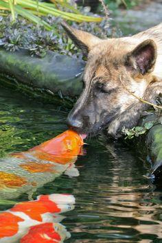 ** Beautiful**  #dog and #koi #fish
