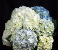 Bulk Hydrangea - White or Blue.  Starting at $65.95.   Common Name: Hydrangea, Big-leaf Hydrangea, Garden Hydrangea, Hortensia    Description: Small, star shaped blossoms clustered together to form a rounded head up to 6 inches in diameter. The stems, with several large leaves, grow 16-20 inches long. bigleaf hydrangea, 20 stem