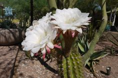 Echinopsis candicans in full bloom.